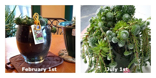 Chick Hen Plant on February 1st and on July 1st